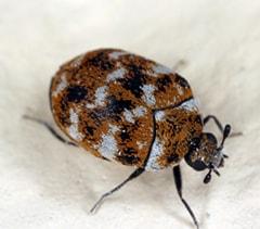 Carpet Beetle Slider