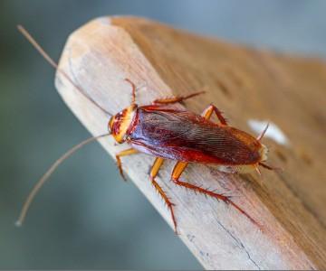 Cockroaches Img